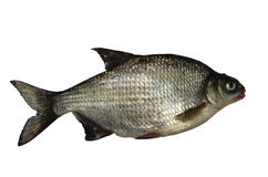 Big bream Stock Photography