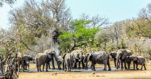 Big breeding herd of Elephants at a water hole in Kruger national park , Africa royalty free stock photo
