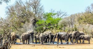 Big breeding herd of Elephants at a water hole in Kruger national park , Africa royalty free stock images