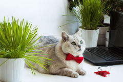 Big bright cat lying near with computer keyboard. Animal in the red bow tie Stock Photos