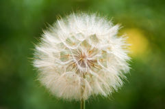 Big bright fluffy dandelion on a green background, blowball. Stock Photo
