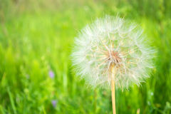 Big bright fluffy dandelion on a green background, blowball. Stock Image