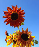 Big bright orange and yellow sunflowers against a bright blue sky Royalty Free Stock Photo