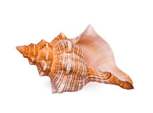 Big bright seashell Stock Photos