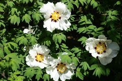 Big white and purple flowers of Paeonia rockii. Big bright white and purple flowers of Paeonia rockii royalty free stock image