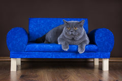 Big British cat resting on the couch Royalty Free Stock Photo