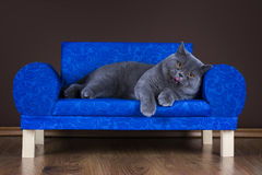 Big British cat resting on the couch Royalty Free Stock Image