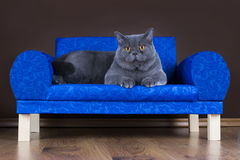 Big British cat resting on the couch Royalty Free Stock Photos
