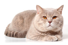 Big british lilac cat Royalty Free Stock Images