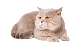 Big british lilac cat Royalty Free Stock Image