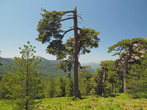 Big broken gree pine with grassy mountain and a blue sky. Pine forest Royalty Free Stock Images
