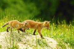 Big brother fox Royalty Free Stock Image