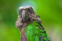Big Brother is Watching You. Stare of a Red-fan Parrot with a god-like aura behind its head Stock Image