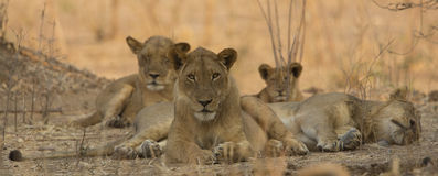 Big brothers watching. Lion pride resting in the shade Royalty Free Stock Photo