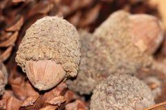 Big brown acorns with pine cones up close macro Stock Photo