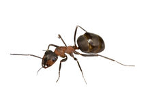 Big brown ant Stock Images