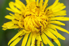 Big brown ants feeding on pollens of Common Dandelion flower in Stock Photography