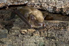 Big brown bat (Eptesicus fuscus) Royalty Free Stock Photo