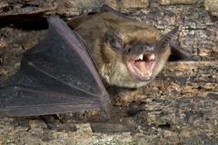 Big brown bat (Eptesicus fuscus) royalty free stock photos