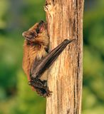 Big Brown Bat (Eptesicus fuscus). A Big Brown Bat on a weathered forest branch Stock Photo