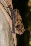 Big Brown Bat Royalty Free Stock Images