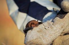 Big Brown Bat rescued in winter. In Toronto, Ontario, Canada Stock Photo
