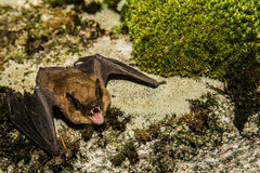 Big Brown Bat Stock Photography
