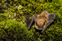 Big Brown Bat Stock Images