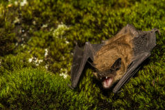 Big Brown Bat Royalty Free Stock Photos