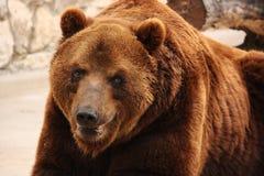 Big brown bear. Close-up Royalty Free Stock Images