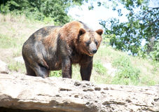 Big Brown Bear. Large brown bear outside in a park or zoo Royalty Free Stock Photo