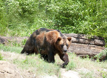 Big Brown Bear. Large brown bear outside in a park or zoo Royalty Free Stock Photos