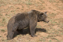 Big brown bear. Stock Photo