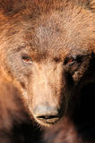 Big Brown Bear Stock Photos