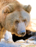 Big Brown Bear Royalty Free Stock Photos