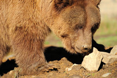 Big Brown Bear Stock Images