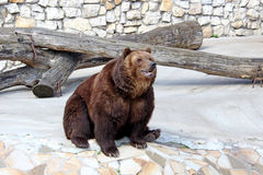 Big brown bear. Brown bear, a bear or ordinary (Latin Ursus arctos) - carnivorous mammal of the family bear, one of the largest and most dangerous land predators Royalty Free Stock Photo