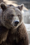 Big brown bear. Big brown bear in a zoo royalty free stock images