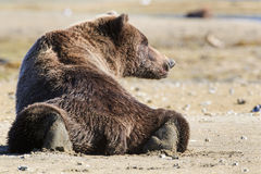 Big brown bear boar resting after eating fish Royalty Free Stock Photography