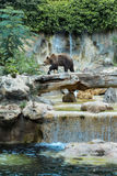 Big Brown Bear. Brown bear walking  in zoo. Brown, bear, water, waterfall, trees, goes Royalty Free Stock Photography