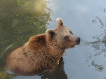 Big brown bear Stock Image