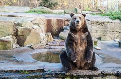 Big brown bear in a city zoo royalty free stock photo