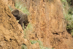 Big brown bear climbing a cliff. Royalty Free Stock Photo