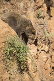 Big brown bear climbing a cliff. Royalty Free Stock Images
