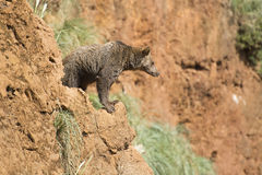 Big brown bear climbing a cliff. Stock Image
