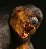 Big brown bear closeup. Closeup angry big brown bear with huge jaws stock images
