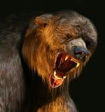 Big brown bear closeup Stock Images