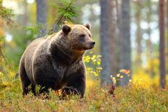 Big brown bear in a colorful forest looking at side royalty free stock photos