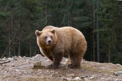 Big brown bear in a edge of coniferous forest royalty free stock photo