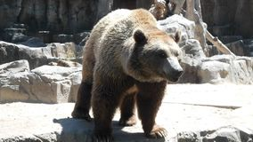 Big brown bear enclosure royalty free stock photo